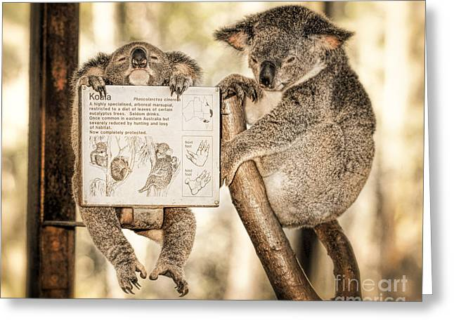Greeting Card featuring the photograph Koala Australia  by Juergen Held
