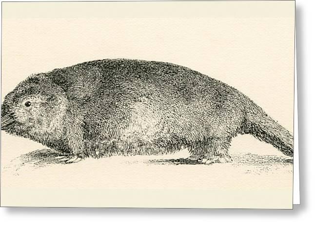 Australian Duck-billed Platypus Greeting Card