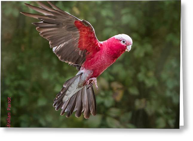Australian Galah Parrot In Flight Greeting Card