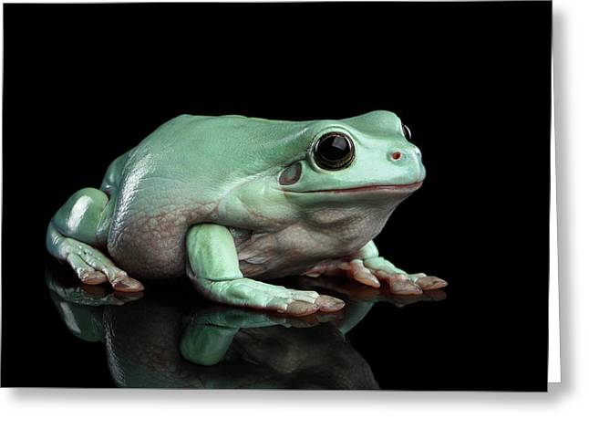 Australian Green Tree Frog, Or Litoria Caerulea Isolated Black Background Greeting Card