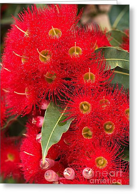 Australian Red Eucalyptus Flowers Greeting Card