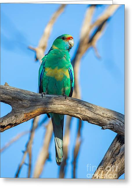 Australian Ringneck Parrot Greeting Card by B.G. Thomson