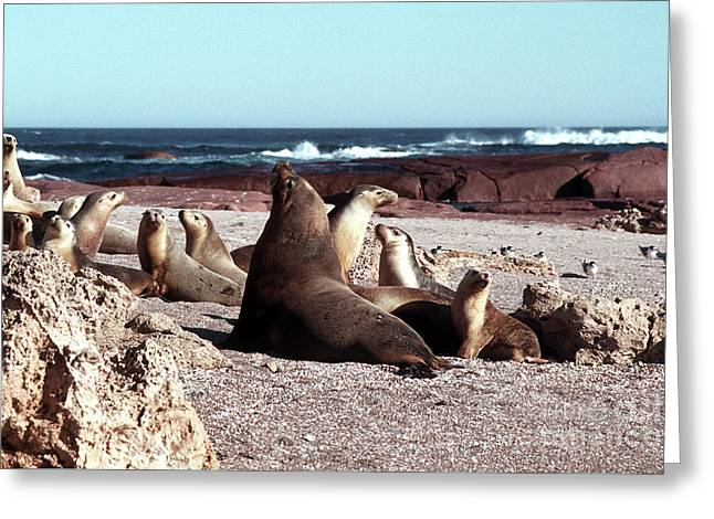 Australian Sea Lions Greeting Card by Rick Piper Photography