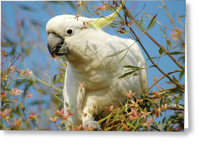Australian Sulphur Crested Cockatoo Greeting Card