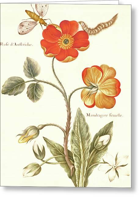 Austrian Briar Rose And Mandragora Greeting Card by Nicolas Robert