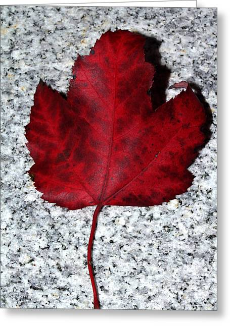 Autum Maple Leaf 1 Greeting Card by Robert Morin