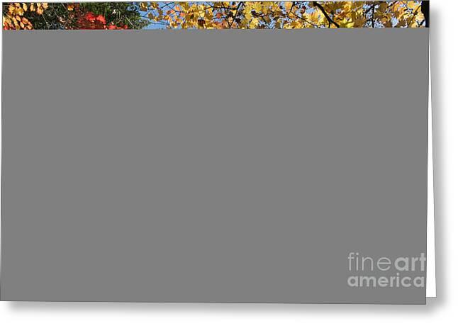 Autumn Acer Vitifolium Greeting Card