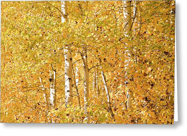 autumn aspen leaves Populus tremuloides Greeting Card by Ed Book