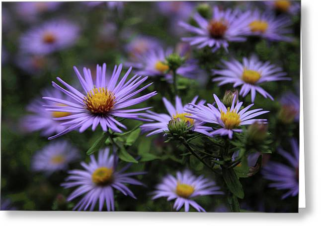 Autumn Asters Greeting Card by Jessica Jenney