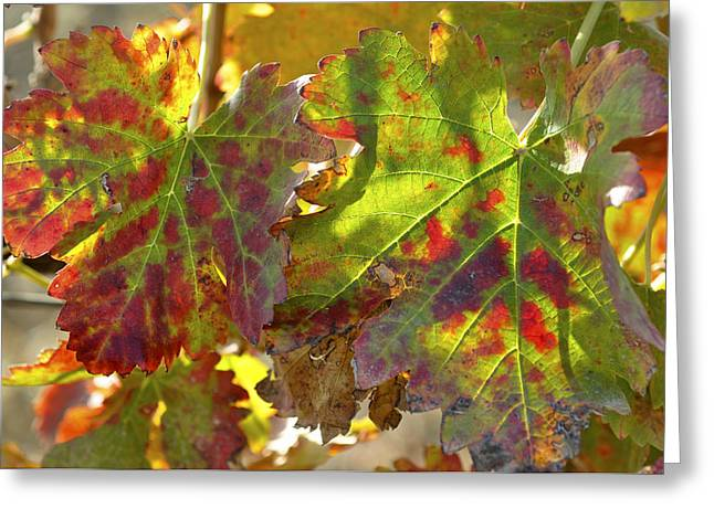 Greeting Card featuring the photograph Autumn At Lachish Vineyards 2 by Dubi Roman