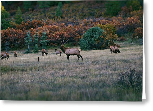 Autumn Bull Elk Greeting Card