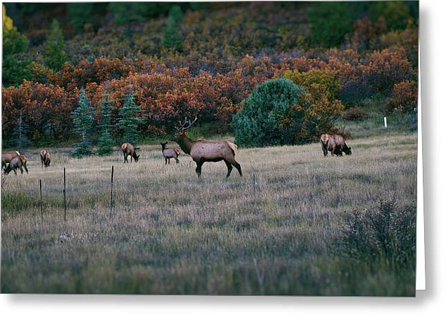 Autumn Bull Elk Greeting Card