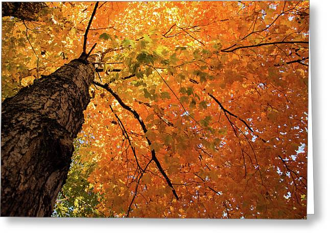 Autumn Canopy In Maine Greeting Card