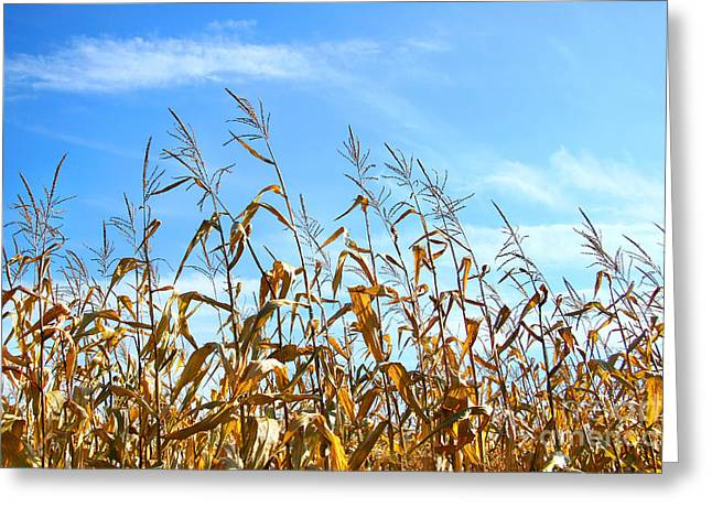Autumn Corn Greeting Card by Sandra Cunningham