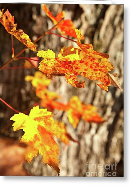 Autumn Fall Color Maple Leaves In The Blue Ridge Greeting Card by Dan Carmichael