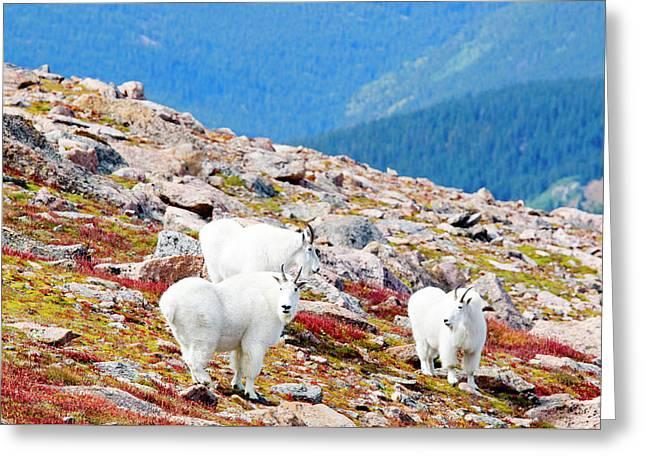 Autumn Goats On Mount Bierstadt Greeting Card