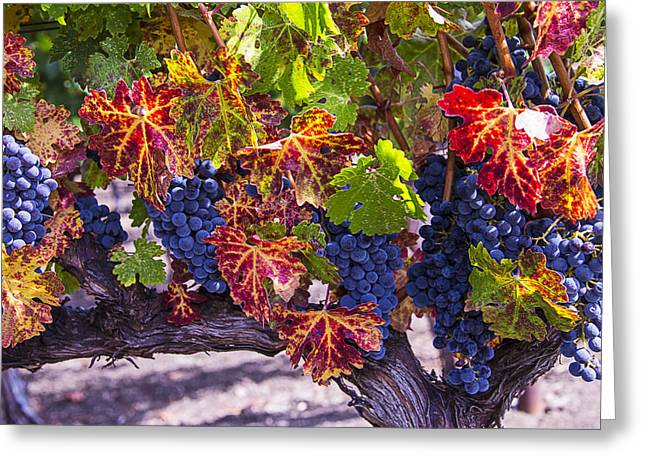 Autumn Grapes Harvest Greeting Card by Garry Gay