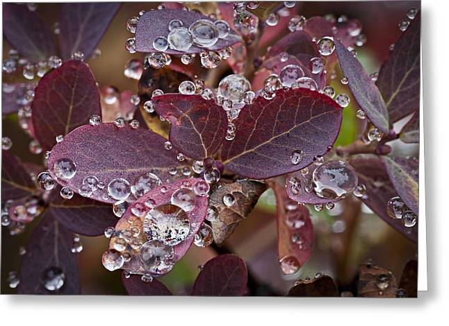 autumn Huckleberry leaves macro in autumn Greeting Card by Ed Book