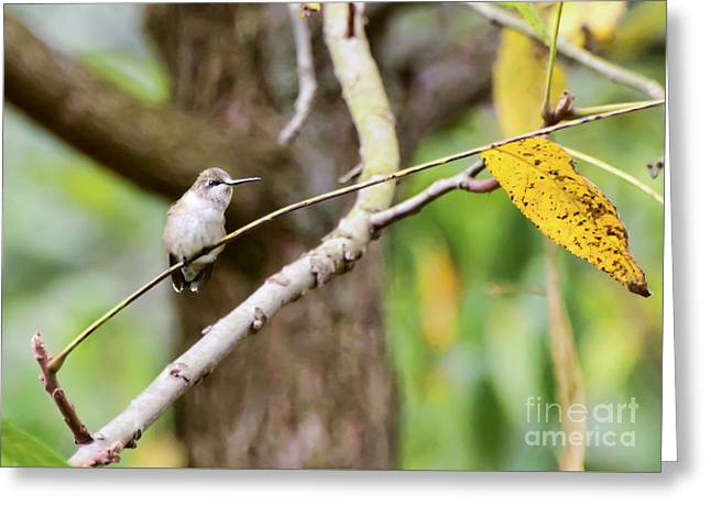 Autumn Hummingbird Greeting Card by Kerri Farley