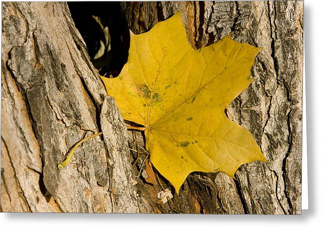 Lightning Gifts Greeting Cards - Autumn Leaf Greeting Card by James BO  Insogna