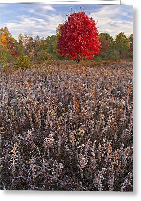 Autumn Maple In Frosted Meadow Greeting Card by Dean Pennala