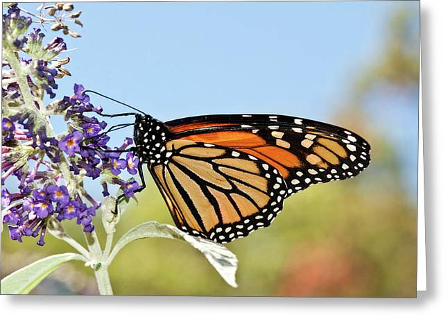 Greeting Card featuring the photograph Autumn Monarch Butterfly 2016 by Lara Ellis