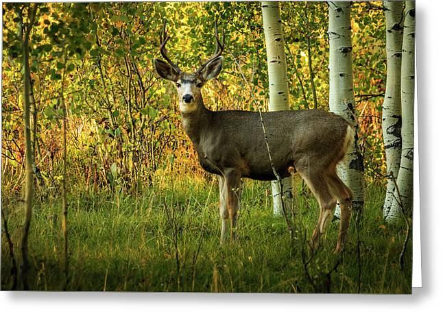 Autumn Mule Deer Greeting Card by TL Mair