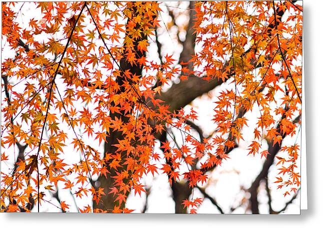 Autumn Red Leaves On A Tree   Greeting Card by Ulrich Schade