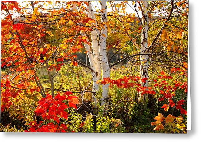 Autumn Scene With Red Leaves And White Birch Trees, Nova Scotia Greeting Card