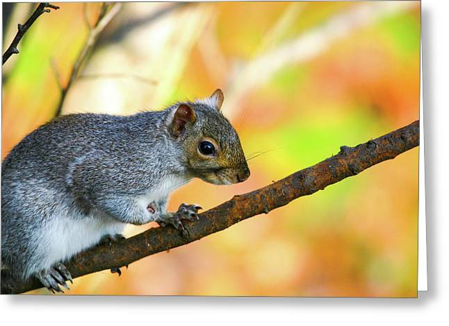 Greeting Card featuring the photograph Autumn Squirrel by Karol Livote