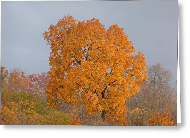 Autumn Tree Greeting Card by Donald C Morgan