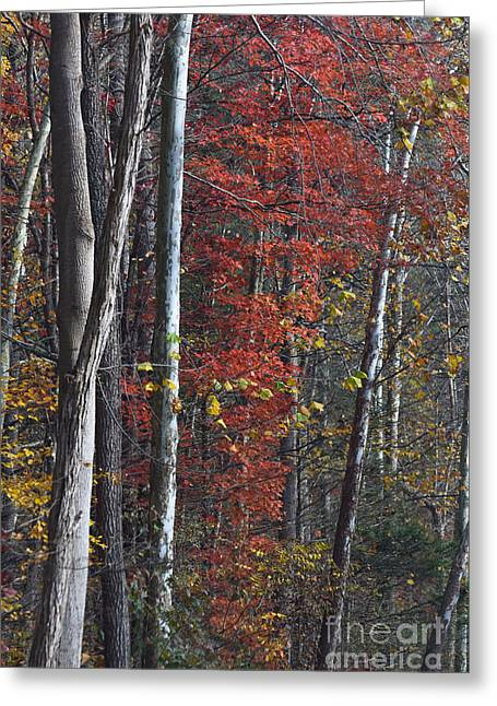 Autumn Trees 8261c Greeting Card