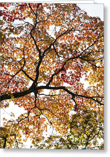 Autumnal Acer Palmatum Greeting Card by Tim Gainey