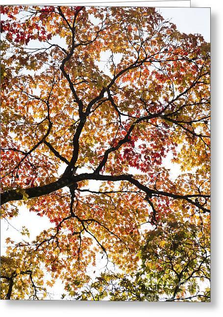 Autumnal Acer Palmatum Greeting Card
