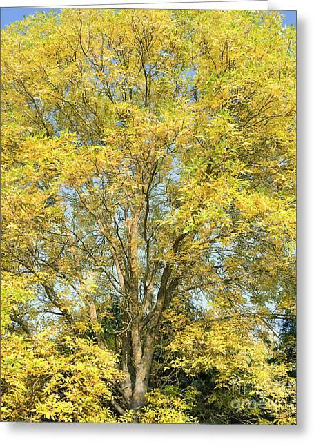 Autumnal American Ash Greeting Card