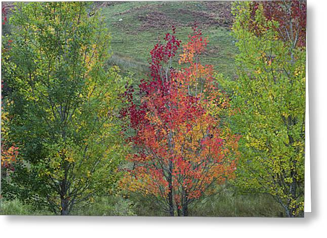 Autumnal Aspen Trees Panoramic Greeting Card by Tim Gainey