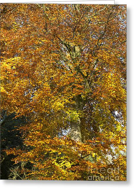 Autumnal Beech Tree Greeting Card by Tim Gainey