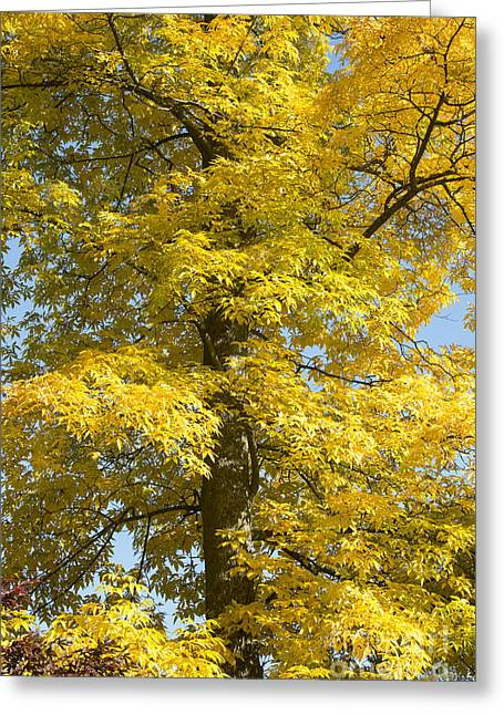 Autumnal Bitternut Hickory Tree Greeting Card by Tim Gainey