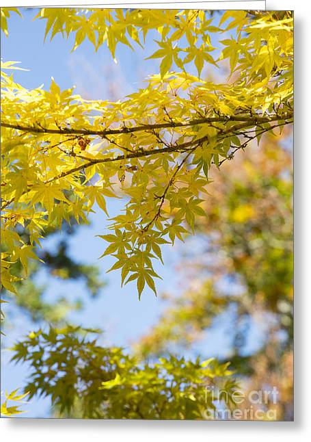 Autumnal Coral Bark Maple Leaves Greeting Card by Tim Gainey