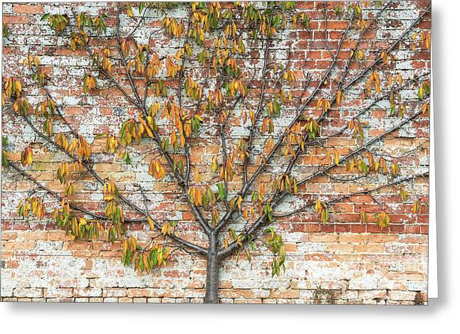 Autumnal Espalier Fruit Tree  Greeting Card by Tim Gainey
