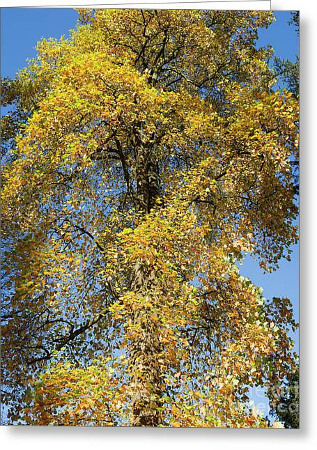 Autumnal Tulip Tree Greeting Card