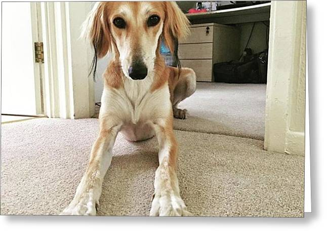 Ava On Her First Birthday #saluki Greeting Card by John Edwards
