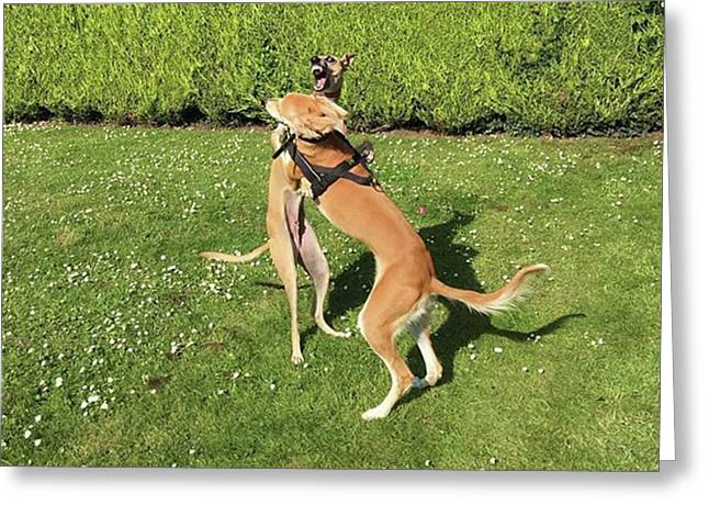 Ava The Saluki And Finly The Lurcher Greeting Card by John Edwards