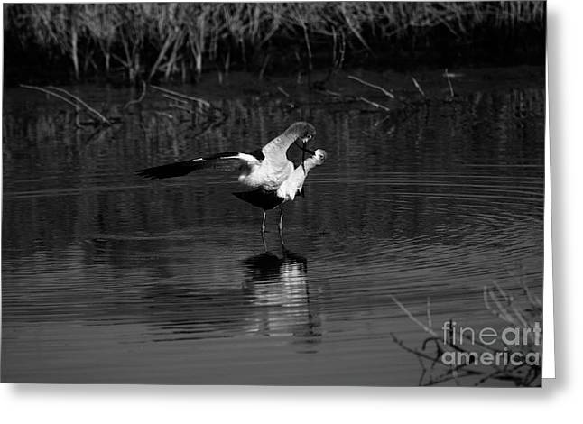 Greeting Card featuring the photograph Avocet Courtship Dance by John F Tsumas