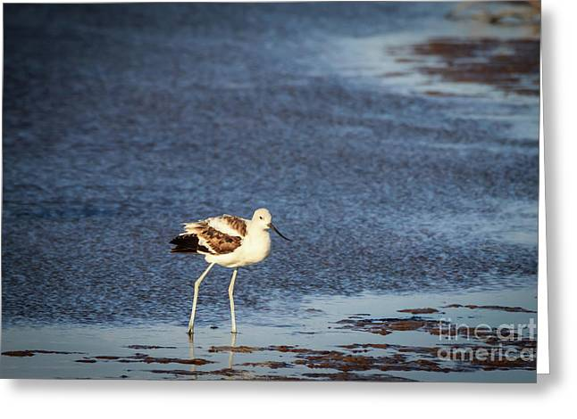 Avocet On The Shore Greeting Card by Richard Smith