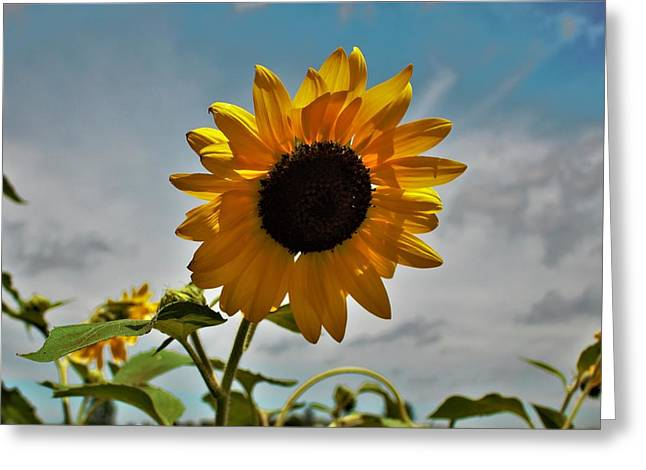 2001 - Awakening Sunflower Greeting Card