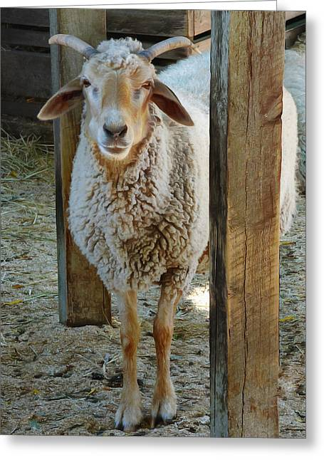 Awassi Sheep Greeting Card