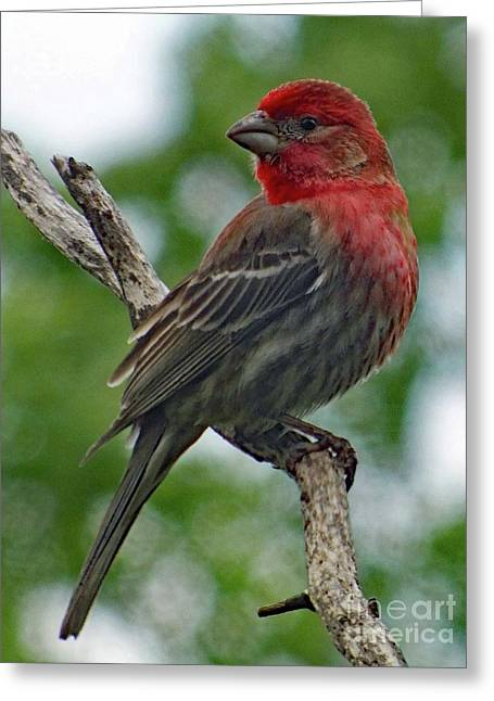 Aweinspiring - House Finch Greeting Card