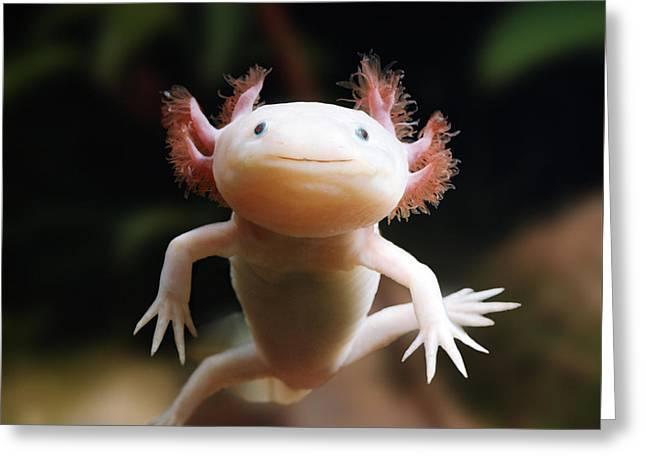 Axolotl Face Greeting Card