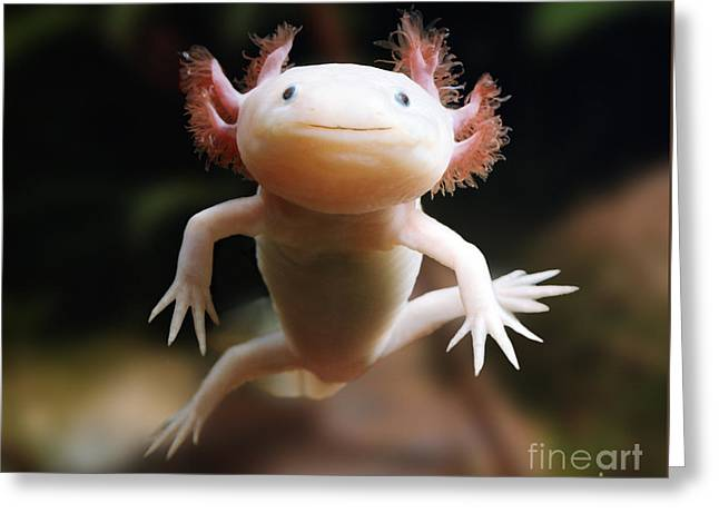 Axolotl Face Greeting Card